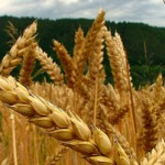 La producción mundial de cereales será un record según la FAO