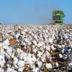 La cosecha de algodón alcanza una media de 3.000 kilos por hectárea con una calidad excepcional