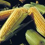 Mercado incierto para el maíz y la soja