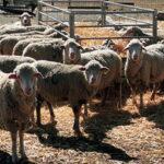 El PE detalla cuáles son las debilidades y las oportunidades del sector ovino-caprino de la UE