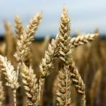 Se confirma el mal estado del trigo duro en Canadá: la cosecha podría ser la mitad que el año pasado