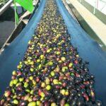 COPA-COGECA: Se prevé una buena producción de aceitunas y aceite de oliva en la UE, a pesar del avance de la Xylella fastidiosa