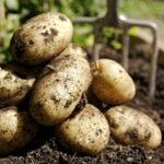 Éxito en ensayos de campo con patata resistente al tizón tardío