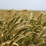 La cosecha 2017 de cereales de invierno será más de 7 Mt inferior a la del año anterior, según las últimas estimaciones del MAPAMA